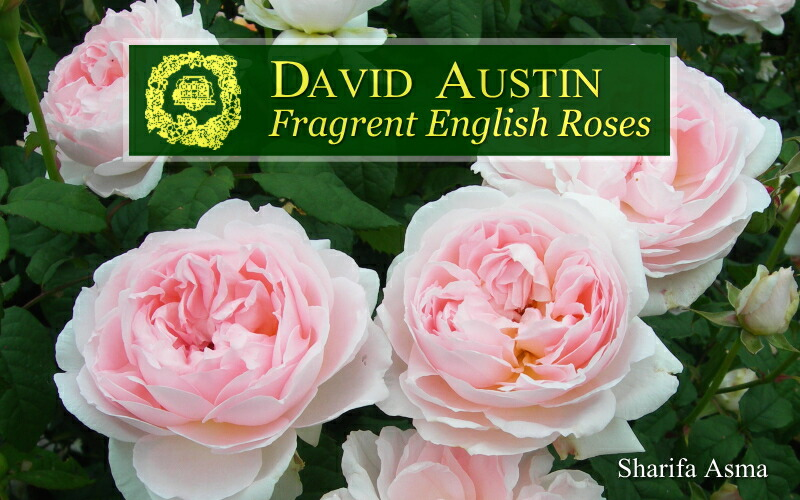 イングリッシュローズ -English Roses-