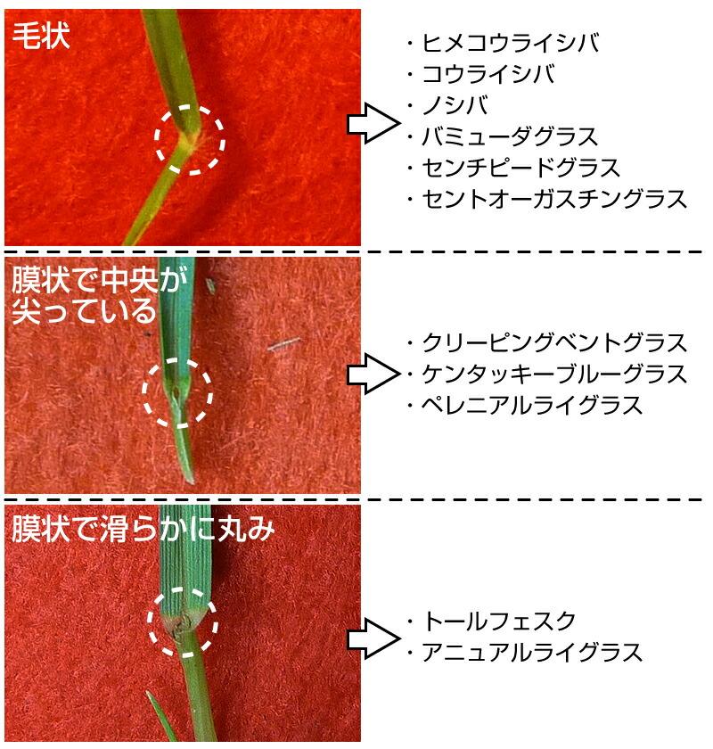 葉舌の形状