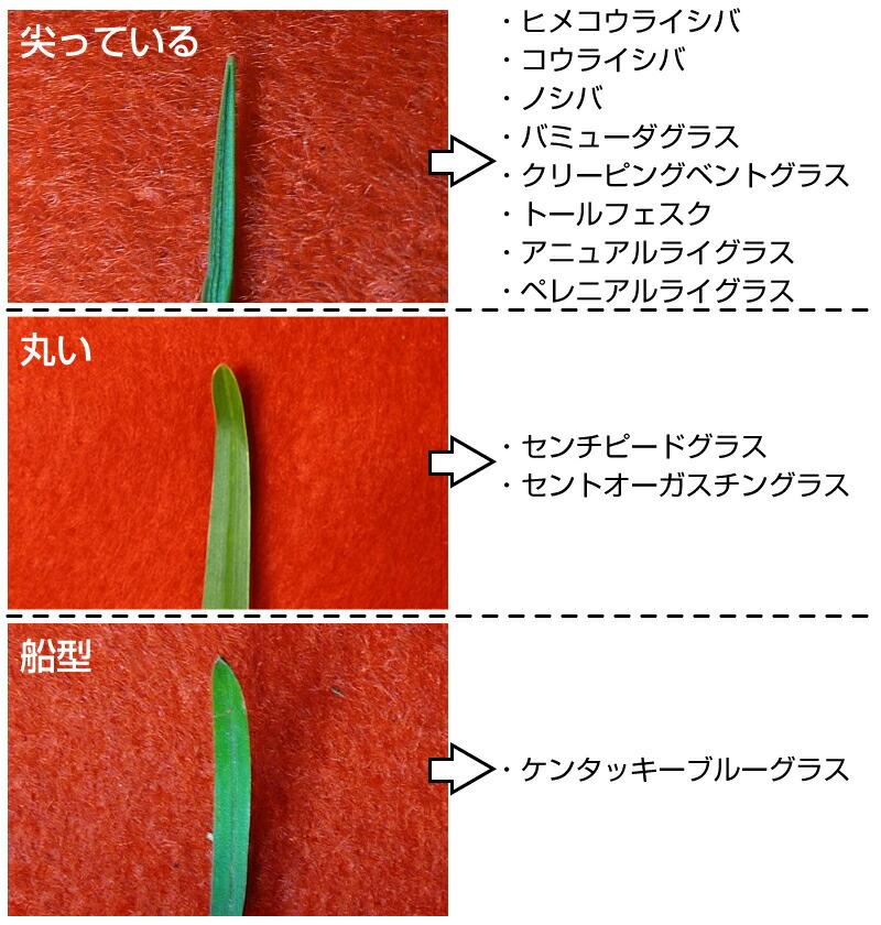 葉の先端の形状