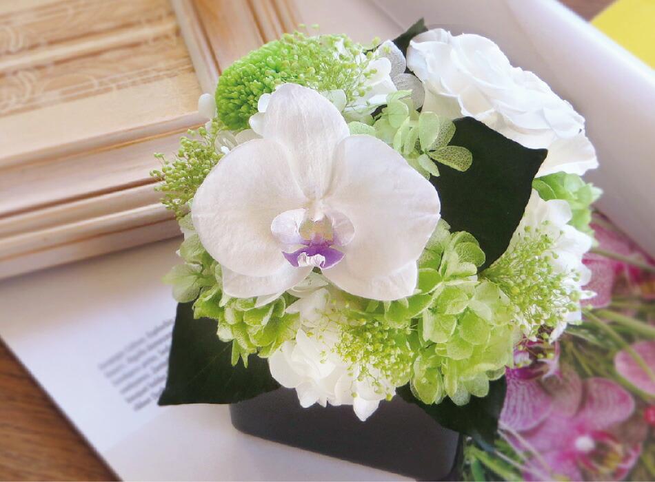 胡蝶蘭キューブS グリーンの画像