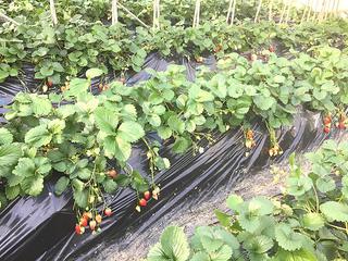 きらぴかのイチゴ畑 きらぴ香 苺 イチゴ いちご