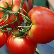 トマト:ビタミンAやビタ  ミンC、コラーゲンをつくるビタミンHやビタミンPを豊富に含んでいます。また活性酸素を退治するリコピンを含む身体にとて  も有用な野菜です。