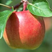 リンゴ:ミネラルである  カリウムや粘膜保護作用のあるペクチン、セルロースなどの食物繊維を豊富に含む、消化吸収に優れた果物で  す。