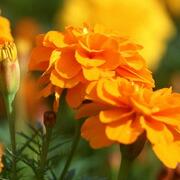 キンセンカの花:カロチ  ノイド、フラボノイド、サポニンなど粘膜保護作用のある栄養を豊富に含みます。