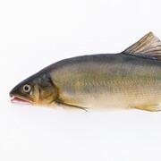 魚:動物性タンパク質、カ  ルシウム、ビタミンA、B群、C、E類、タウリン、ドコサヘキサエン酸やエイコサペンタエン酸、オメガ3脂肪酸など免疫力にも  働きかける栄養が豊富に含まれています。