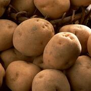 ジャガイモ:グルテンフリ  ーのエネルギー源。代謝を活発にし、皮膚被毛に働きかけるビタミンCやB1、B2、B6、体内の余分な塩分を排出する働きのある  カリウムなどを多く含みます。