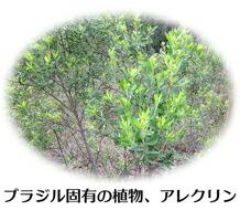 ブラジル固有の植物、アレクリン