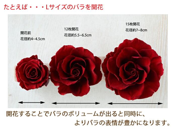 たとえば・・・Lサイズのバラを開花 開花前 花径約4-4.5cm 12枚開花 花径約5.5-6.5cm 15枚開花 花径約7-8cm 開花することでバラのボリュームが出ると同時に、よりバラの表情が豊かになります。