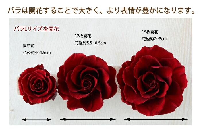 バラは開花することで大きく、より表情が豊かになります。