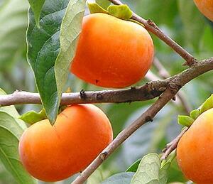 甘みが強く、ジューシーな富有柿のみ使用