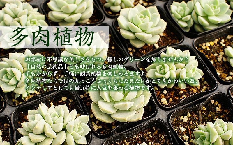 育て方簡単!可愛い多肉植物