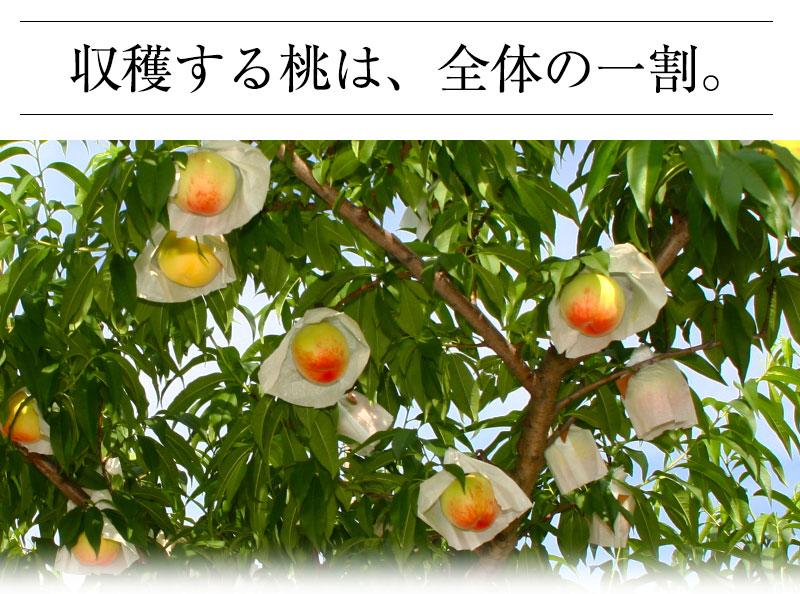 収穫する桃は、全体の一割です。