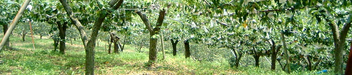 和歌山の梨 栽培園地