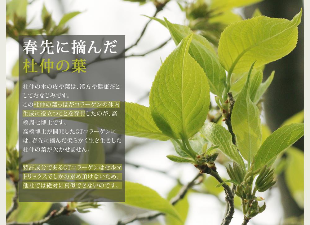 春先に摘んだ杜仲の葉