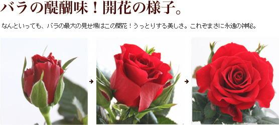 バラの醍醐味!開花の様子。