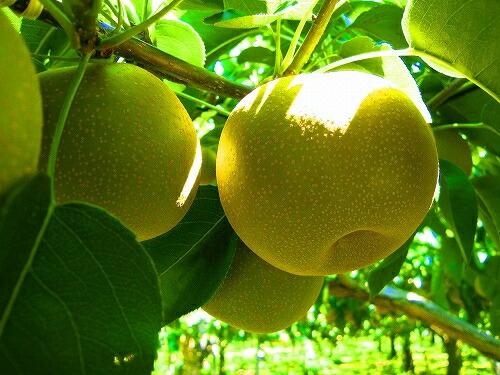 とってもおいしい千葉県産の梨【豊水】ナシ