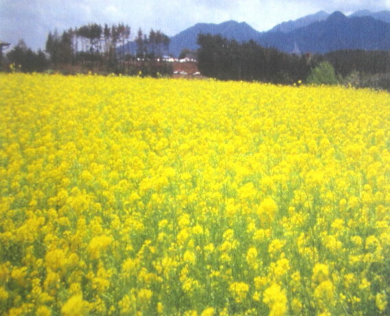Chigusa mustard seeds brassica juncea yellow flowers happyness 1 1 early early often flourish in the short period of time 2 flowers in the yellow lodging resistance also is strong 3 flowering height is 1 m or more mightylinksfo