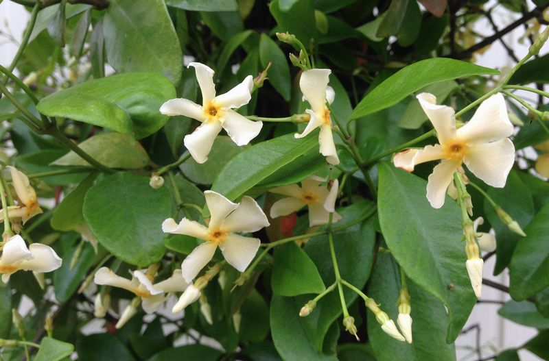 Chigusa rakuten global market star jasmine pale yellow flowers in field grown winter less leaf in the kanto and kansai regions around spring april out of flower buds and the flowers on 5 6 june mightylinksfo
