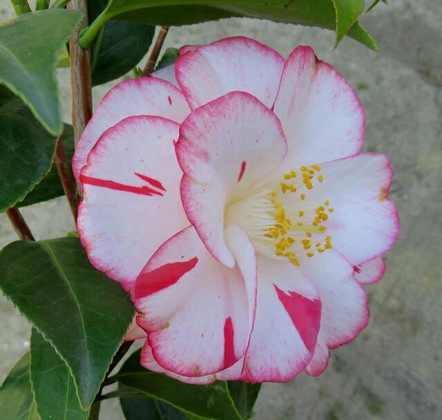 Chigusa Camellia Camellia Young Plant 1m Princess Masako