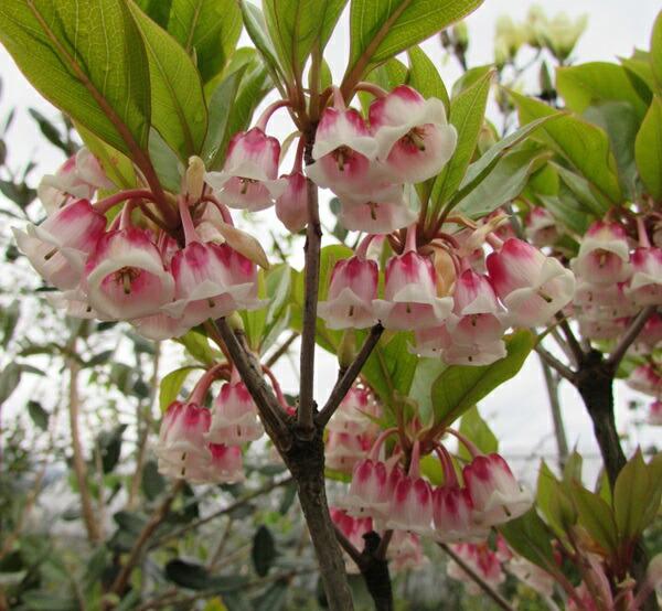 Chigusa rakuten global market hong kondudan quotpink a brilliant bell shaped flowers are in bloom mightylinksfo