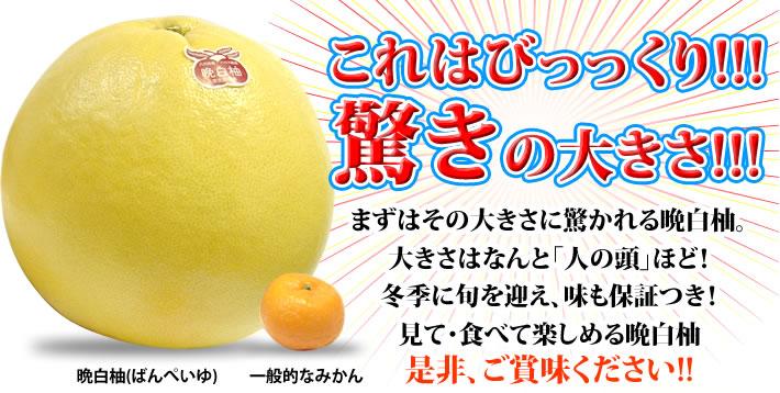 これはびっっくり!!!驚きの大きさ!!! まずはその大きさに驚かれる晩白柚。大きさはなんと「人の頭」ほど!冬季に旬を迎え、味も保証つき!見て・食べて楽しめる晩白柚 是非、ご賞味ください!!