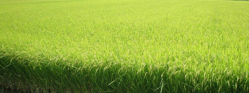 岐阜の米(岐阜ハツシモ)