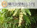 開花(受粉) 3月