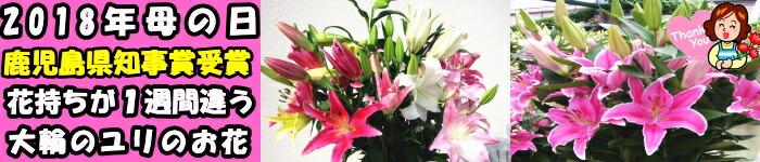 鹿児島大輪のユリの花