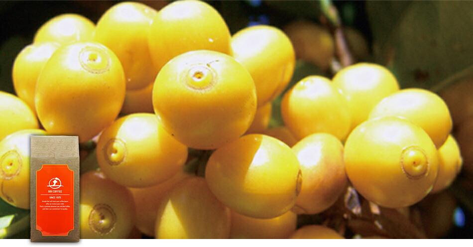 コーヒーの実が完熟すると赤色ではなく、黄色く染まる希少な銘柄、「アマレロ」種。