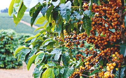 適地でこそ花開く希少な品種、それが「アマレロ」種です。