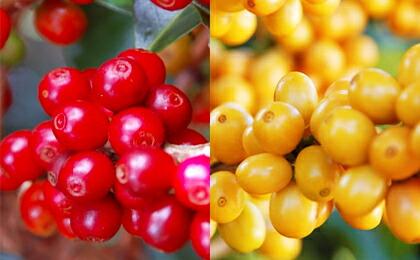 """通常、コーヒーの実は赤く染まります(左)が、""""アマレロ""""のコーヒーの実は完熟すると黄色に染まります(右)。"""