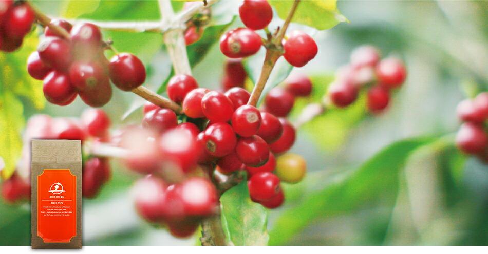 土居珈琲一番人気の銘柄であるカペティロ農園。銘柄が収穫されると、プレミアムコーヒーを取扱う会社からの買い付けのオファーが殺到する農園です。