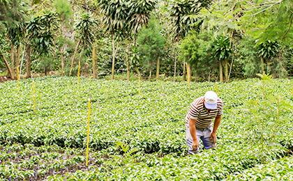 カペティロ農園を訪れ、銘柄の出来を確認する土居珈琲 土居陽介。