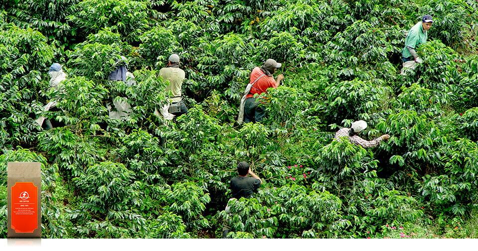 """""""小さな農園""""ならではの、手摘みによるコーヒーの実の収穫風景。一粒ずつ丁寧に摘み取っていきます。"""