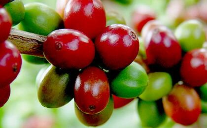 コロンビアで育てられるコーヒーの実。今回ご紹介するのは、特別プロジェクトによって生み出された銘柄です。