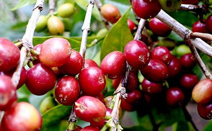 イルガチェフェのコーヒーの実。収穫時期になると、世界中のバイヤーたちによって、買い付けのオーダーが集中する銘柄です。