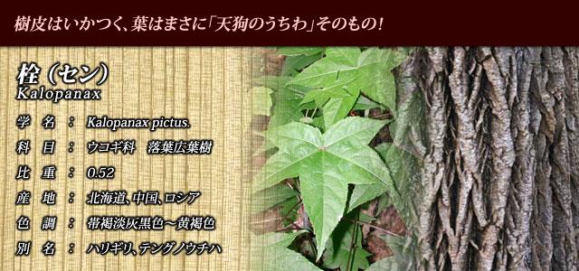 【栓(セン)】 樹皮は厳つく、葉はまさに「天狗のうちわ」そのもの