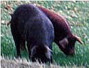 イベリコ豚