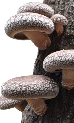原木乾椎茸の発生画像
