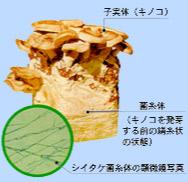 シイタケ菌糸体