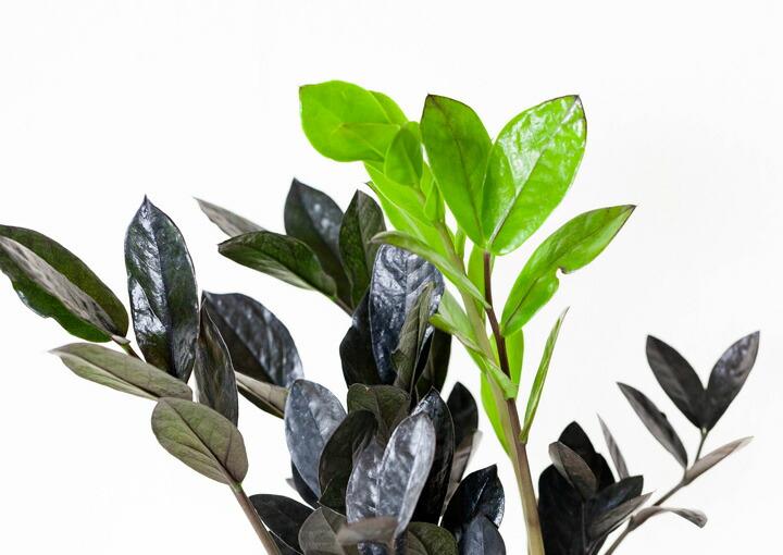 ザミオクルカス・レイヴンの葉
