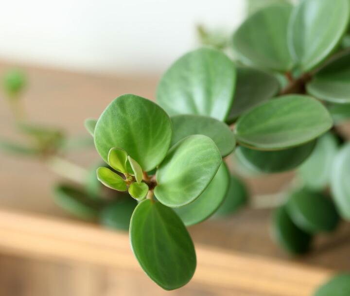 ペペロミアの肉厚な葉