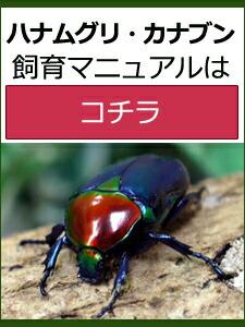 ハナムグリ・カナブン飼育マニュアル