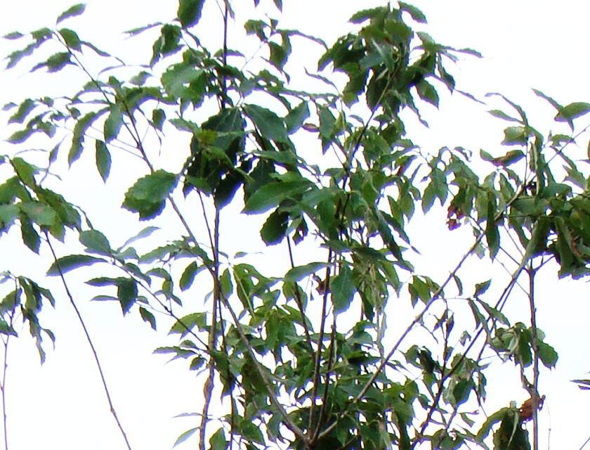 コナラ 葉