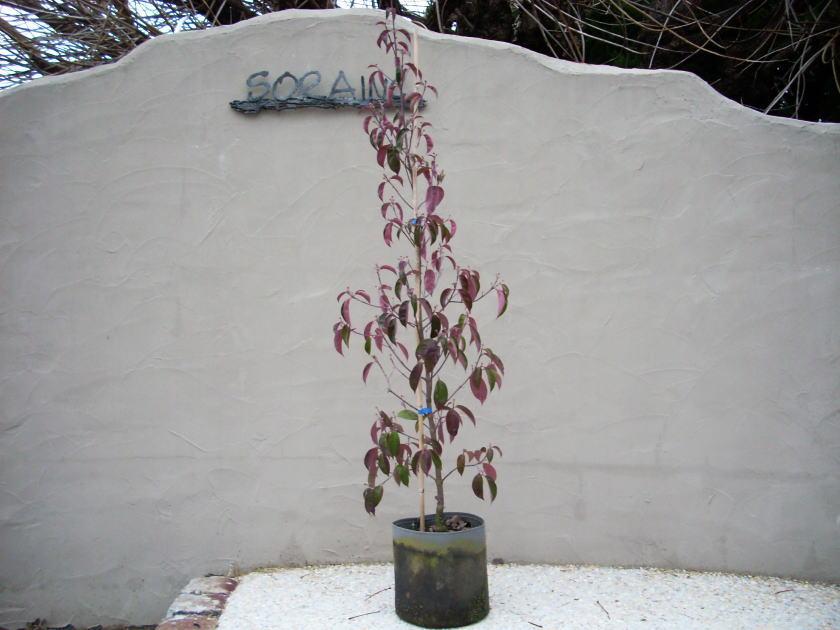 常緑ヤマボウシ単木 樹高H:1500mmのイメージになります