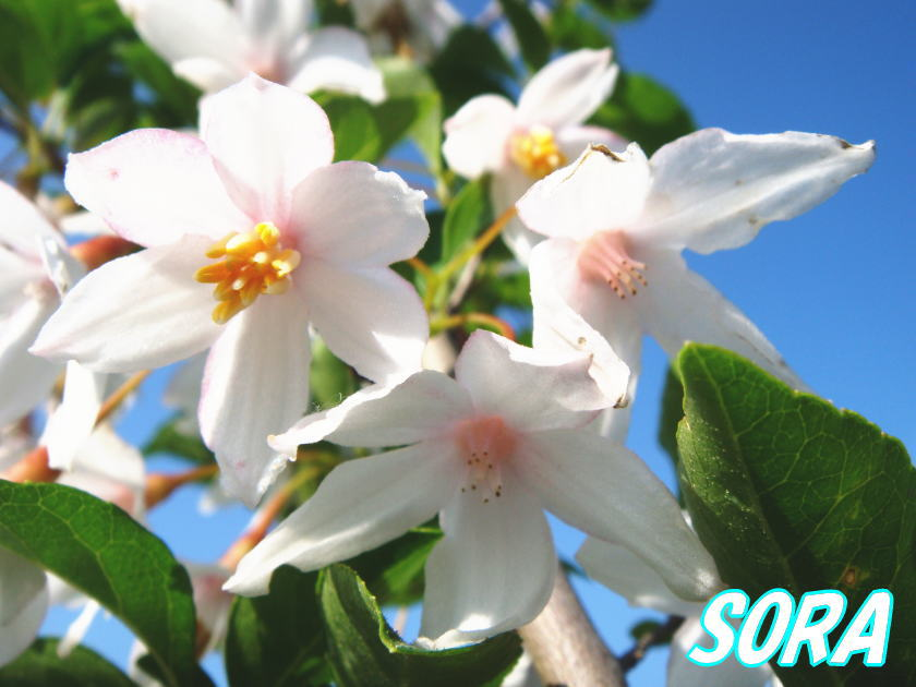 エゴ 白花