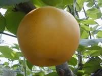 小山田の梨