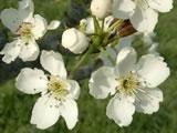 2005 4/9 梨の花
