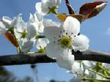 2006 4/16梨の花 満開!