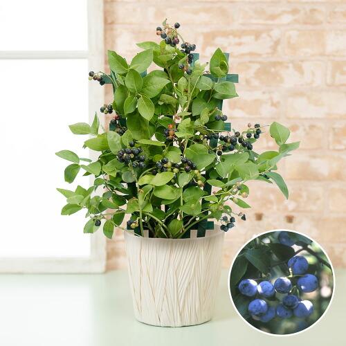 鉢植え「実付きブルーベリー〜収穫が待ちどおしい〜」